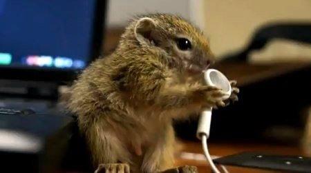 OCH WIE SÜSS! Baby Eichhörnchen futtert Apple Kopfhörer (Video) 1